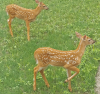 Potsdam-twin-fawns.png