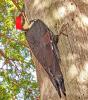 Potsdam-woodpecker.png