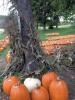 Pumpkins-in-Norwood.png