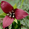 Purple-trillium-South-Colton.png