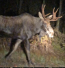 Pville-moose-photo.png
