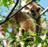 Raccoons-Massena.png
