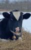 Raymondville-snow-cow.png