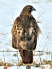 Red-tail-hawk.png