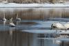 Rensselaer-Falls-Trumpeter-Swans.png