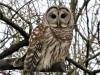 Richville owl.png