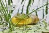Richville-bullfrog.png