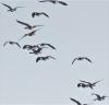 Richville-geese.png
