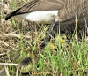 Richville-goslings.png