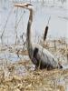 Richville-herons.png