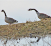 Richville-nagging-geese.png
