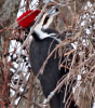 Richville-pileated.png