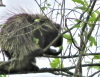 Richville-porcupine.png