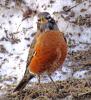 Richville-robin.png