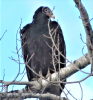 Richville-turkey-buzzard.png