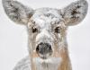 Russell-snow-deer.png