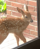 SUNY-Potsdam-fawn.png