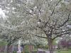 SUNY-Potsdam-tree.png