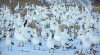 Snow-geese-Lisbon.png