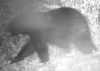 Trail-cam-bear.png