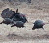 Turkey-flock-Canton.png