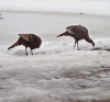Turkeys-in-Heuvelton.png
