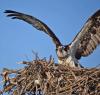 Waddington-osprey.png