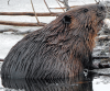 Wet-beaver-Black-Lake.png