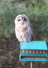Winthrop-barred-owl.png