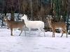 Winthrop-deer-albino.png