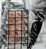 Woodpecker-pierrepont.png