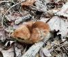 baby ruffed grouse.png