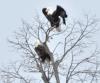 bald-eagles.png