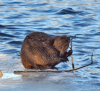 beaver-oswegatchie.png