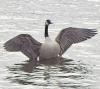 black-lake-goose.png
