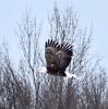 brasher-eagle.png