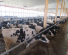 cows in barn.png
