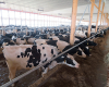 cows-in-barn-copy_2.png