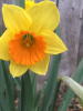 daffodil-stockholm.png