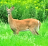 deer-in-Richville.png