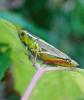 dekalb-grasshopper.png