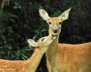 depeyster-deerts.png