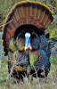 depeyster-turkey.png