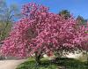 flowering-tree.png