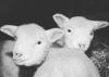 lisbon-lambs.png