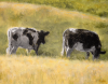 louisville-two-cows.png