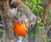 ogdensburg-orange-squirrel.png