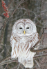 owl-in-Canton.png
