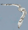 owl-in-flgiht.png
