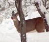 pierrepont-deer.png